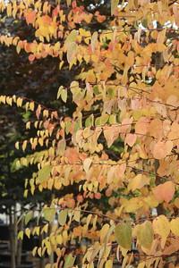 Cercidiphyllum japonicum Fall Foliage