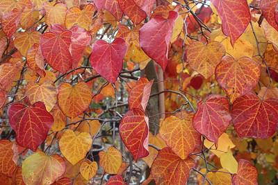 Cercis Fall Foliage