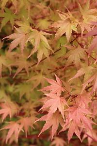 Acer palmatum 'Nishiki gawa' Fall Foliage