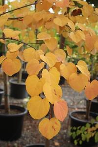 Cercidiphyllum japonicum Fall Foliage (2)
