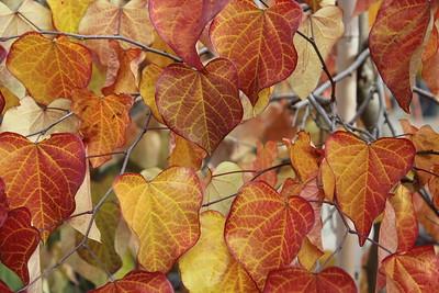 Cercis canadensis 'Ruby Falls' Fall Foliage