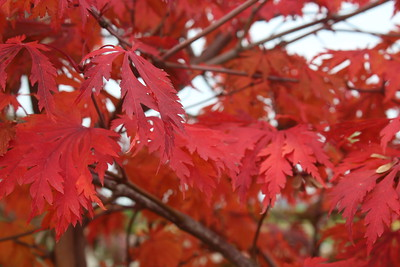 Acer japonicum 'Aconitifolium' Fall Foliage (2)