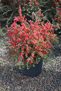 Cotoneaster apiculatus #5 (2)
