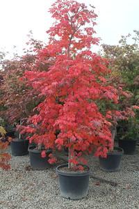Acer jap  'Aconitifolium' 1 75 in #20