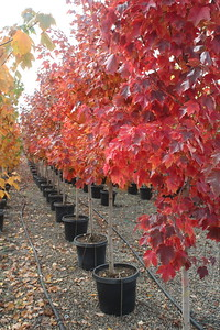 Acer rubrum 'October Glory' 1 25 in #15