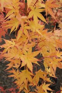 Acer palmatum 'Sango kaku' Fall Foliage