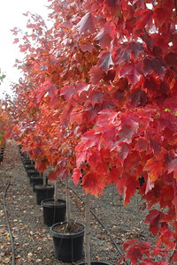 Acer r  'October Glory' 1 25 in #15