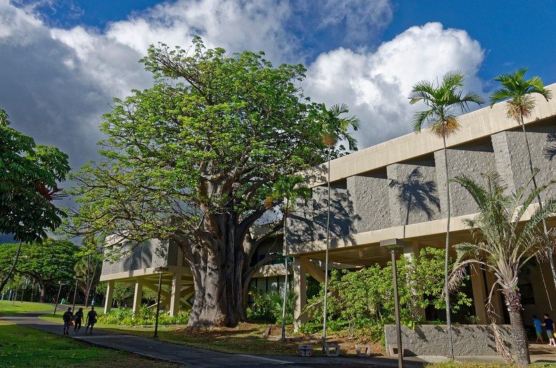 The U. of Hawai'i's art department building, from the side that accommodates a baobab tree