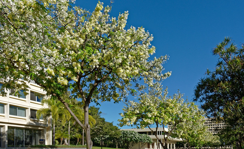 Shower trees line the East-West Center's main drive. The Center's original buildings, dating from 1962, some of them visible in the background here, were designed by I.M. Pei.
