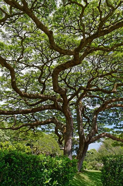 Sprawling monkeypod tree <i>(Samanea saman)</i> at Spalding House