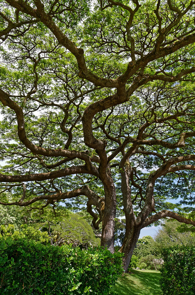 Sprawling monkeypod tree <i>(Samanea saman)</i> at Spalding House