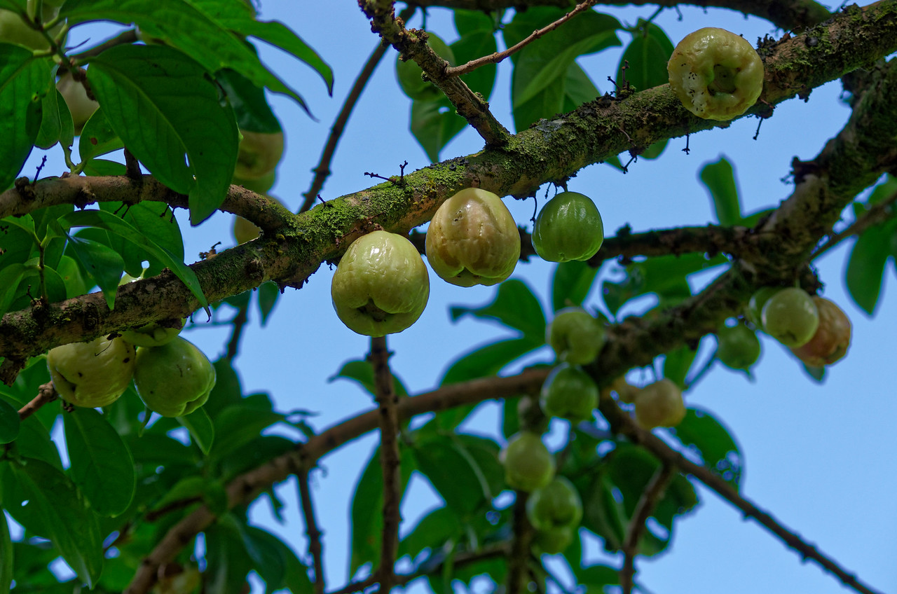 Mountain apple tree <i>(Syzygium malaccense), ohi'a 'ai</i>  in Hawaiian, Lyon Arboretum