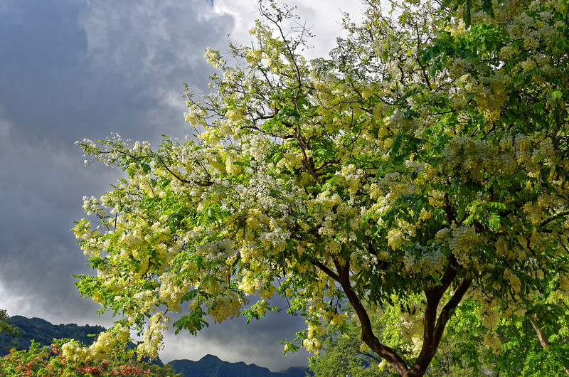 Rainbow shower tree (<i>Cassia xnealiae</i>), a hybrid developed in Hawai'i