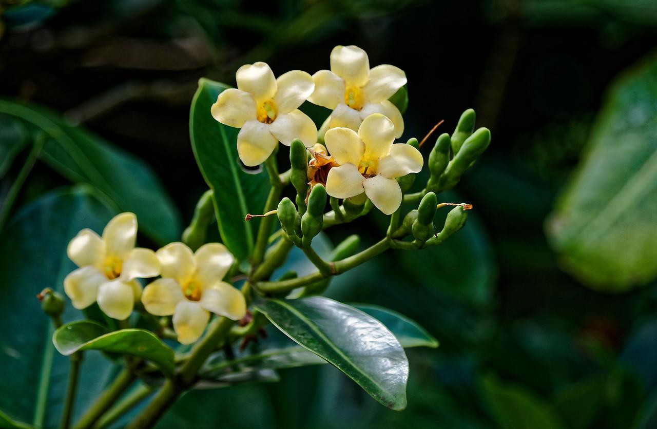 Pua kenikeni flowers <i>(Fabraea berteriana),</i> Lyon Arboretum