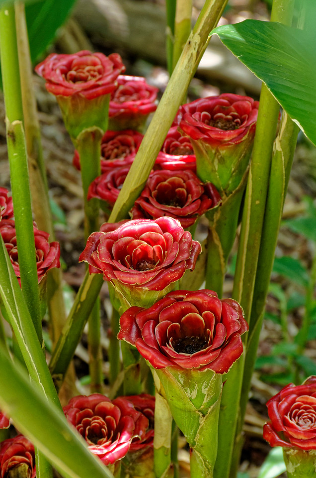 Rose of Siam or <i>ka lo (Etlingera corneri),</i> a member of the Zingiberaceae, or ginger, family