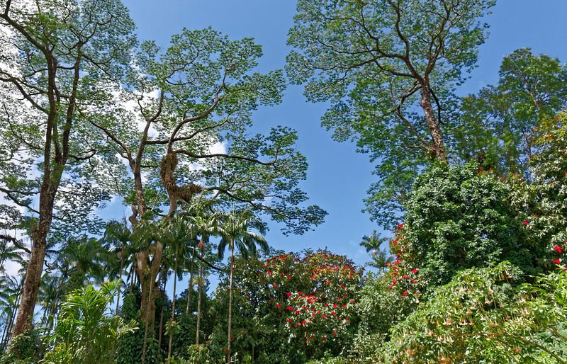 Albizia trees <i>(Falcataria moluccana)</i> tower over the smaller vegetation in Lyon Arboretum.