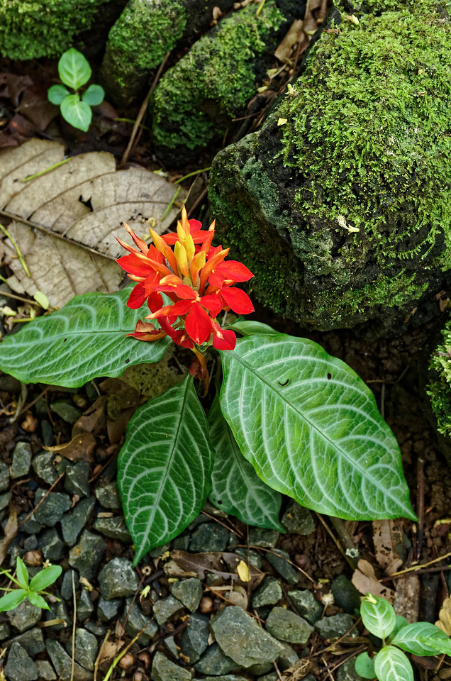 """Fiery spike"" <i>(Aphelandra aurantiaca),</i> an herbal member of the acanthus family, Lyon Arboretum"