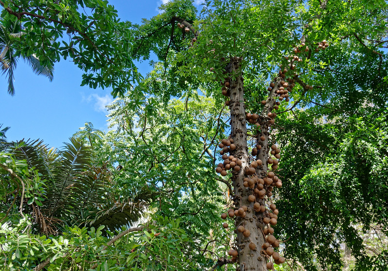 Cannonball tree <i>(Couroupita Guianensis)</i> at Foster Botanical Garden