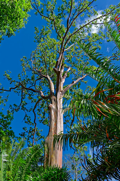Mindinao gum or painted gum tree <i>(Eucalyptus deglupta),</i> called 'rainbow eucalyptus' in Hawai'i