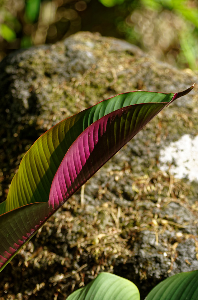 Heliconia leaf