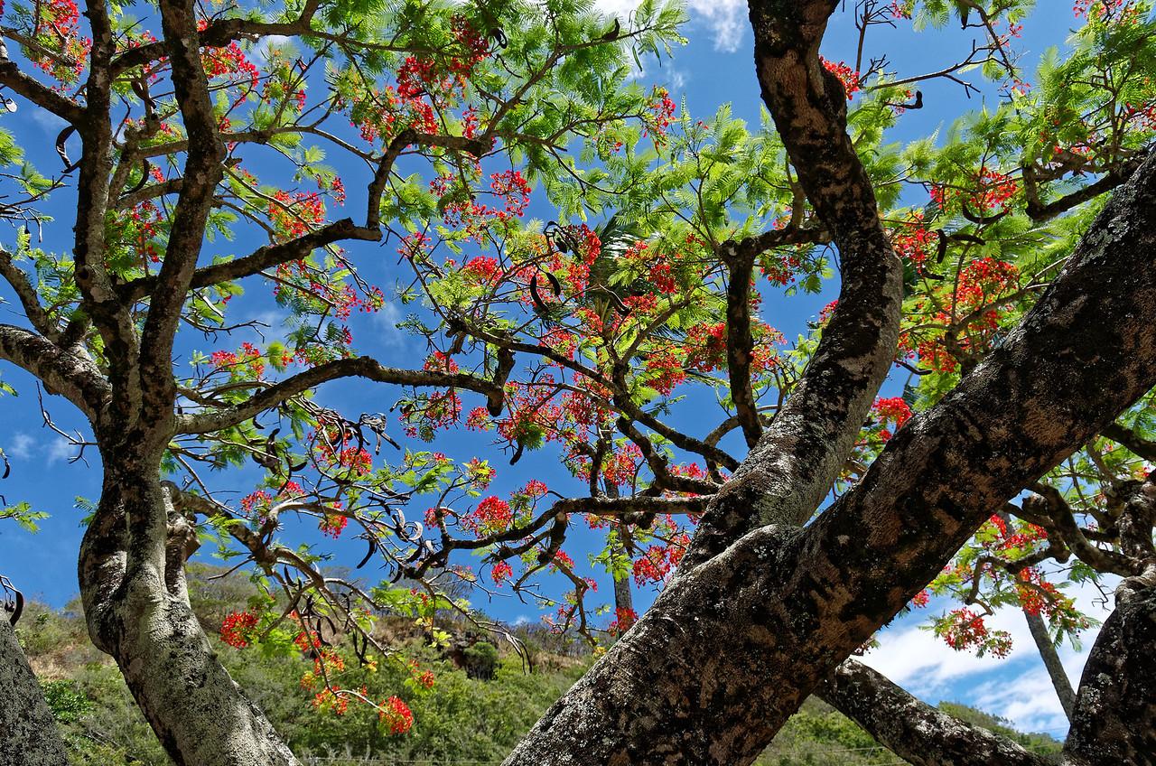 Flowering royal poinciana tree on the beach at Waimea