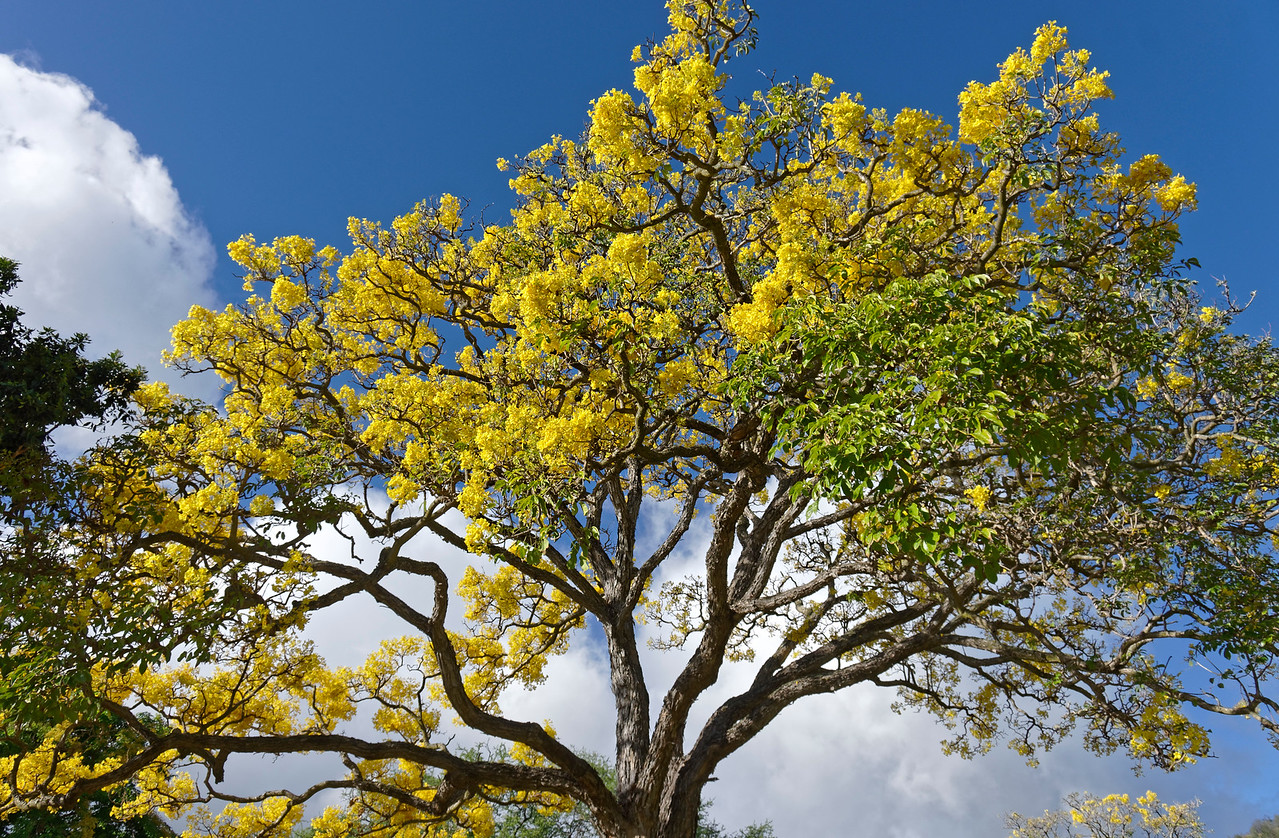 Gold tree <i>(Tabebuia donnell-smithii)</i> (I think!)