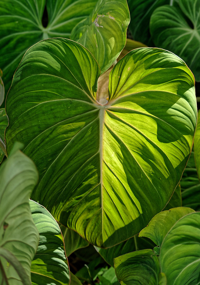 Taro, <i>kalo</i> in Hawaiian, from the roots of which poi is made. Taro was brought to Hawai'i by the first Polynesian settlers. The leaves are called <i>lu'au.</i>