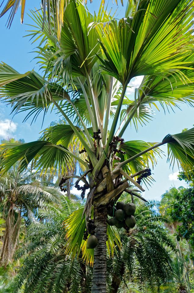 Double-coconut palm <i>(Lodoicea Maldivica)</i>