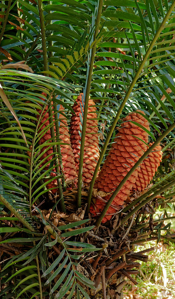 <i>Encephalartos altensteinii,</i> a palm-like cycad from South Africa, commonly called breadtree