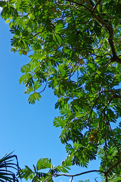 The beautiful and distinctive leaves of a breadfruit tree