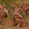 Three young mule deer fawns, Monrovia, CA
