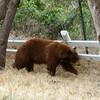Black bear roaming our property in Monrovia, CA