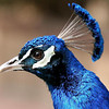 Peacock, Rosamond, CA
