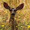 Mule deer doe peeking through wildflowers, Monrovia, CA
