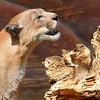 Mountain lion at Exotic Feline Breeding Compound, Rosamond, CA