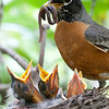 Robin and babies