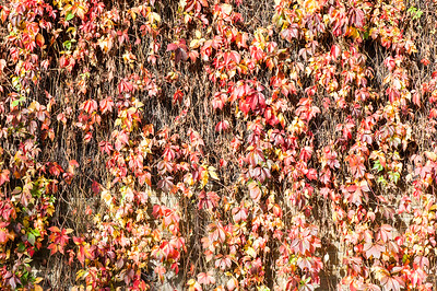 Ivey on the wall, Hackney Wick, London, United Kingdom