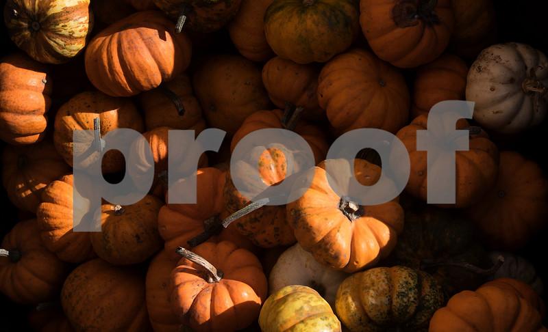 dnews_1011_Pumpkin_Picking_05