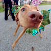 Jonathan Tressler - The News-Herald. A scene from Mentor's 10th Annual Howl-O-Ween Party for Dogs Oct. 13 at the Mentor Dog Park, 6645 Hopkins Road.