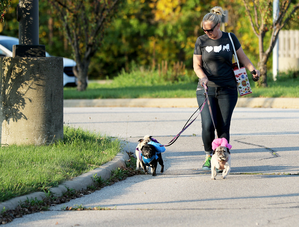 . Jonathan Tressler - The News-Herald. Chardon resident Sandy Gasper gets walked by her three pugs dressed as Jelly Belly jelly beans - Pugsley in purple, Rosie in pink and Pepper in blue - to Mentor�s Howl-O-Ween Party for Dogs Oct. 13 at the Mentor Dog Park on Hopkins Road.
