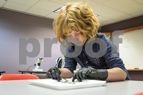 Sam Buckner for Shaw Media.<br /> Amelia Weingarz, 8, disects a spider on Thursday October 19, 2017 at a spider disecting class at the Midwest Museum of Natural History.