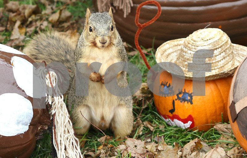 pumpkins squirrel