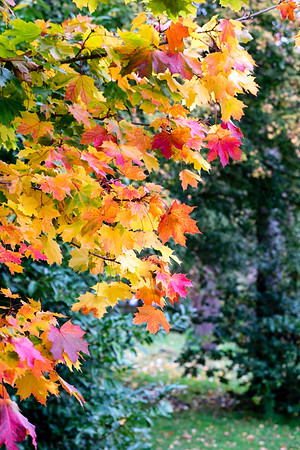 Autumn leaves, HArrow-on-the-Hill, Middlesex, United Kingdom