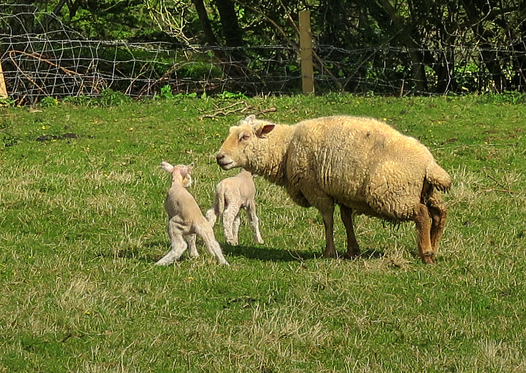 Some very young lambs are all around