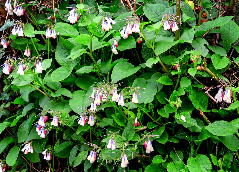 I must look these flowers up, pretty in blue and red .... Comfrey?
