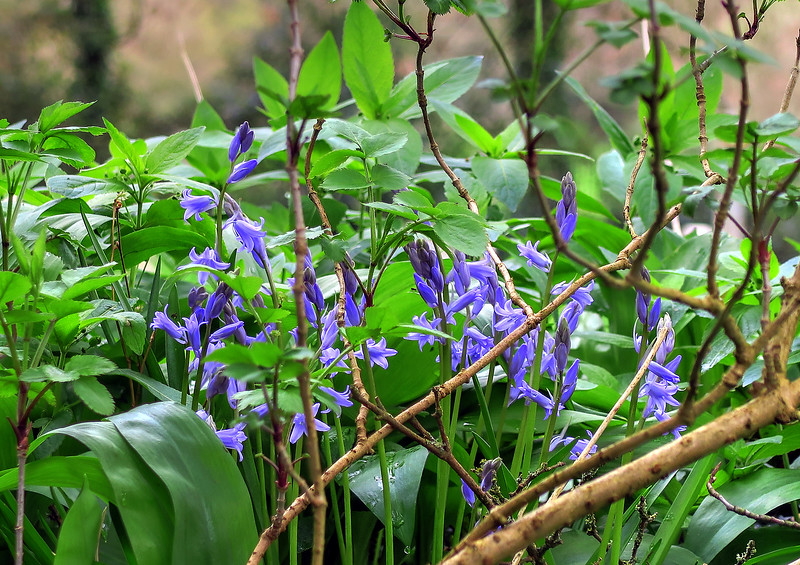 Some early Bluebells
