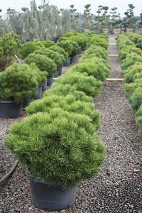 Pinus nigra 'Hornibrookiana', STD #10 Mass (2)