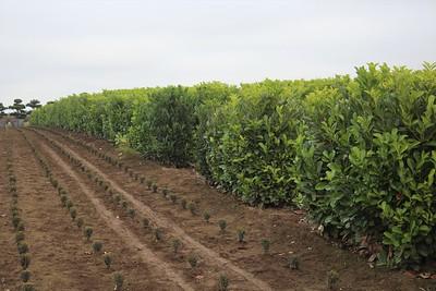 Prunus laurocerasus Field