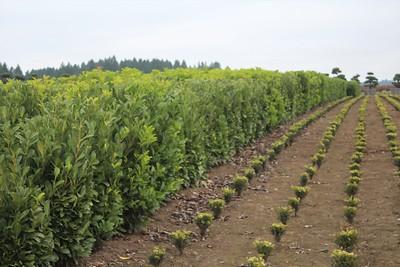 Prunus laurocerasus Field (2)