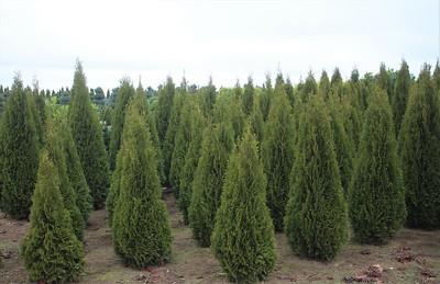 Thuja occ  'Emerald Green' (field grown) (2)